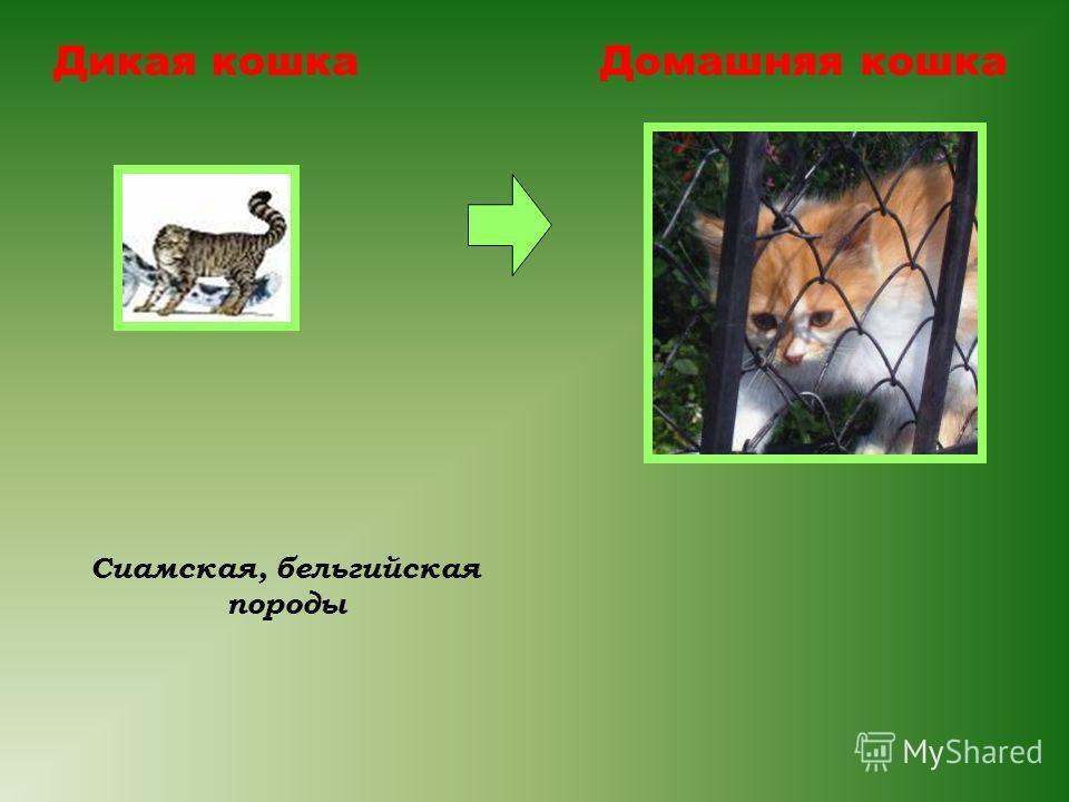 Дикая кошкаДомашняя кошка Сиамская, бельгийская породы