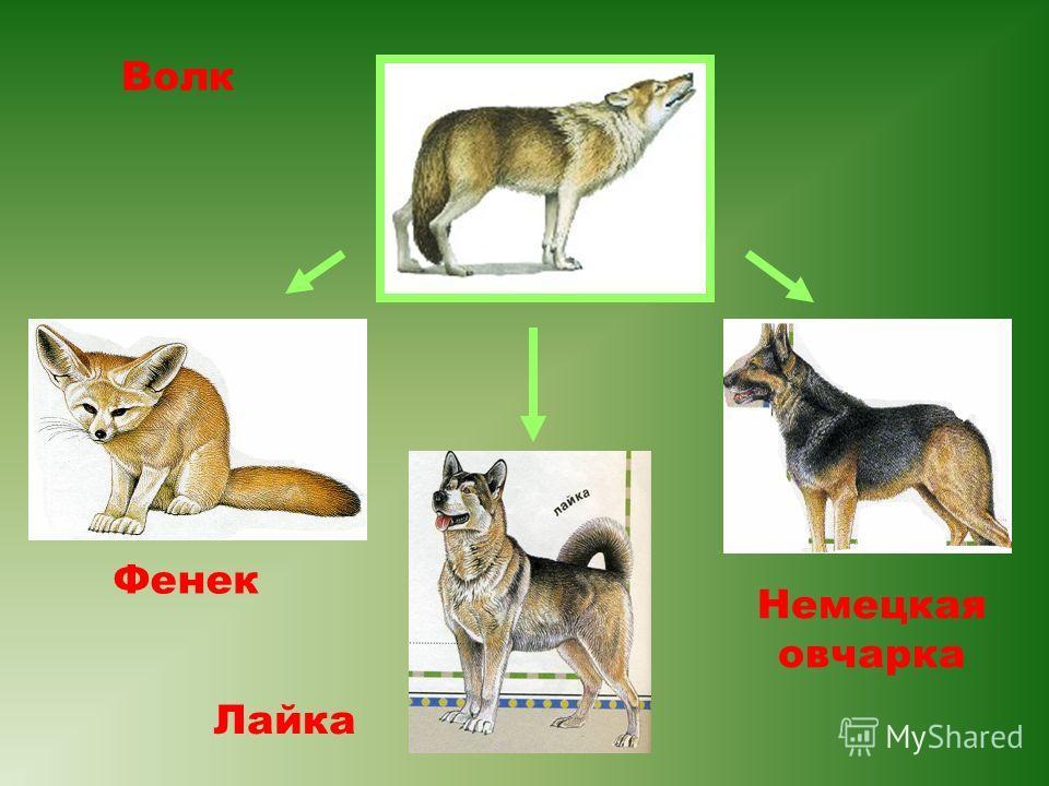 Волк Фенек Немецкая овчарка Лайка