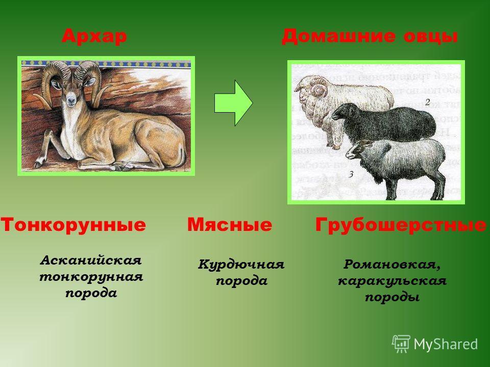АрхарДомашние овцы Асканийская тонкорунная порода ТонкорунныеМясные Курдючная порода Грубошерстные Романовкая, каракульская породы