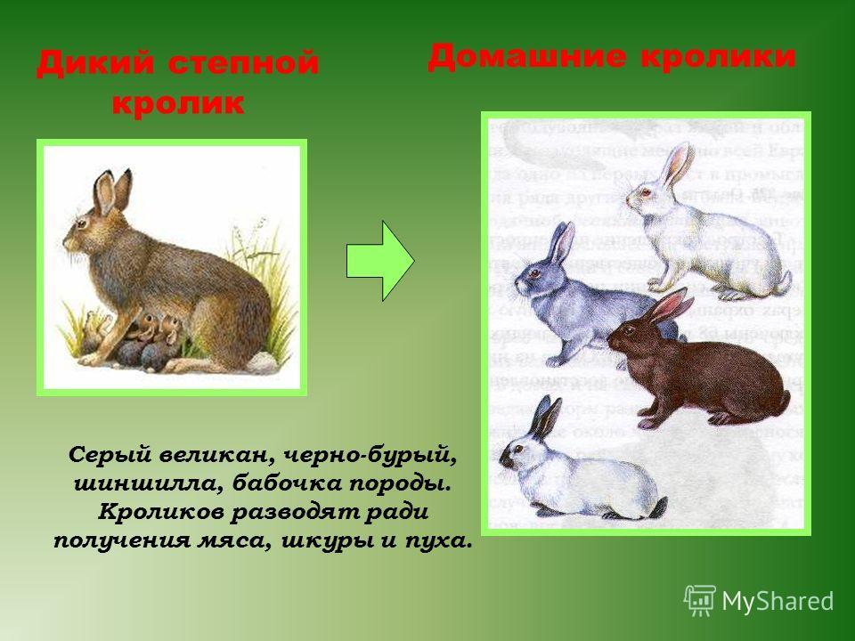 Дикий степной кролик Домашние кролики Серый великан, черно-бурый, шиншилла, бабочка породы. Кроликов разводят ради получения мяса, шкуры и пуха.