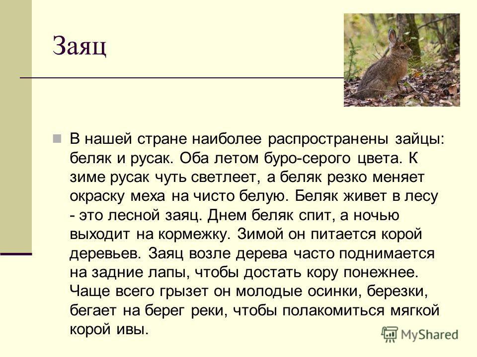 Заяц В нашей стране наиболее распространены зайцы: беляк и русак. Оба летом буро-серого цвета. К зиме русак чуть светлеет, а беляк резко меняет окраску меха на чисто белую. Беляк живет в лесу - это лесной заяц. Днем беляк спит, а ночью выходит на кор