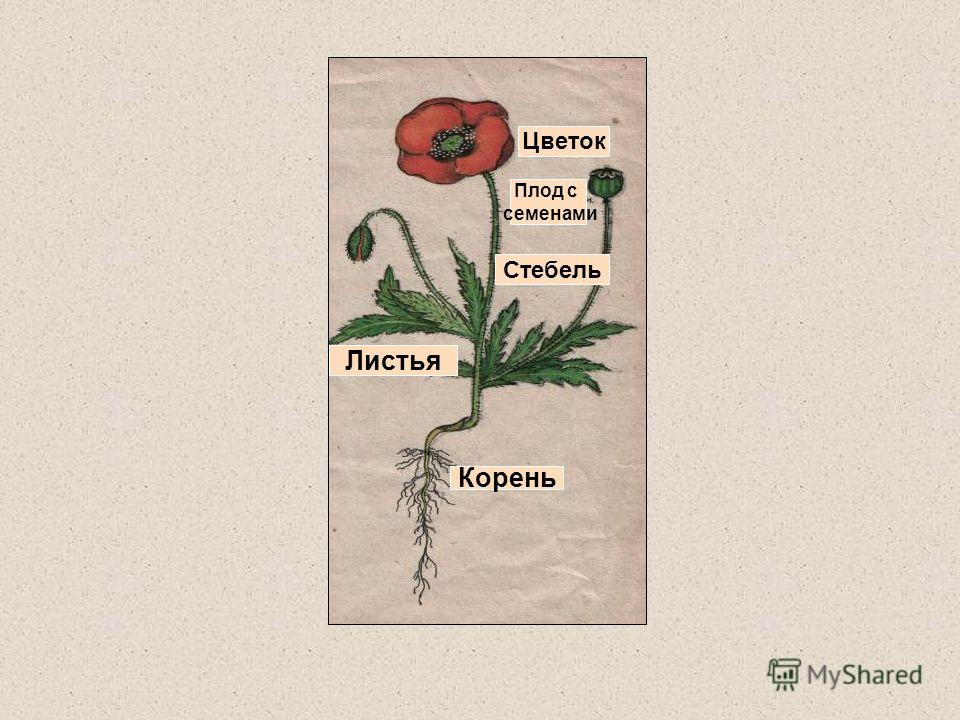 Стебель Листья Плод с семенами Цветок Корень