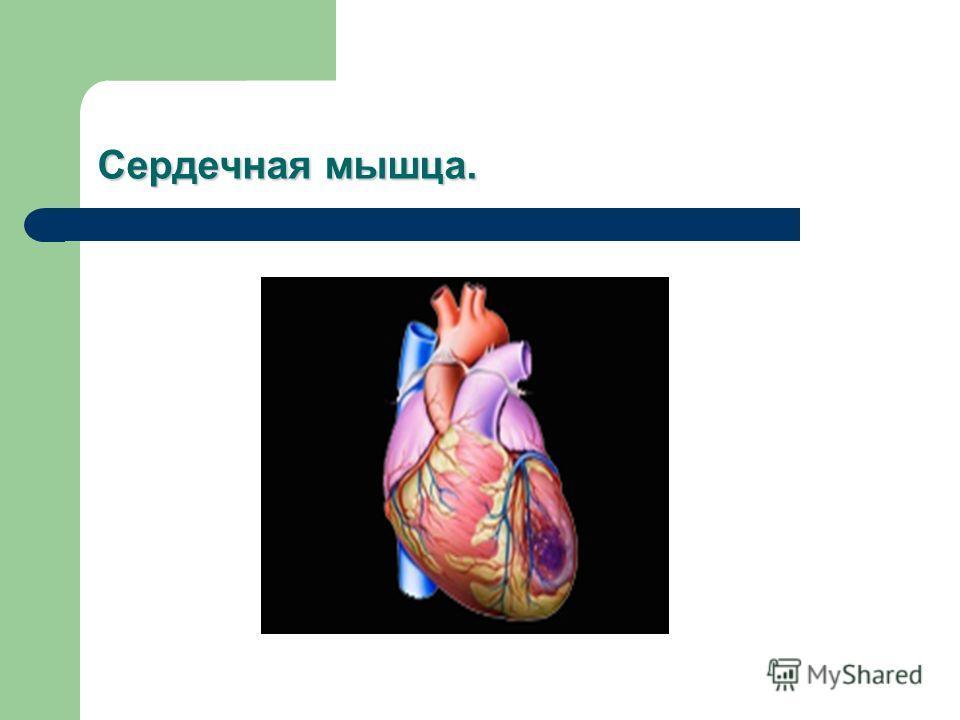 Сердечная мышца.