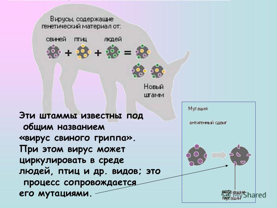 Эти штаммы известны под общим названием «вирус свиного гриппа». При этом вирус может циркулировать в среде людей, птиц и др. видов; это процесс сопровождается его мутациями.