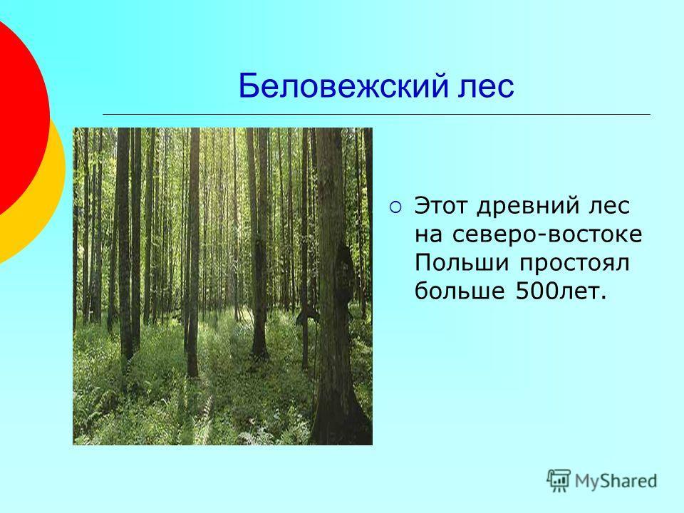 Беловежский лес Этот древний лес на северо-востоке Польши простоял больше 500лет.