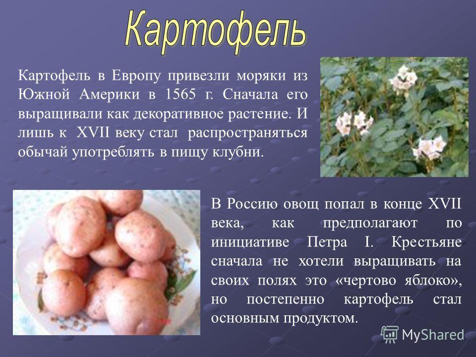 Картофель в Европу привезли моряки из Южной Америки в 1565 г. Сначала его выращивали как декоративное растение. И лишь к XVII веку стал распространяться обычай употреблять в пищу клубни. В Россию овощ попал в конце XVII века, как предполагают по иниц