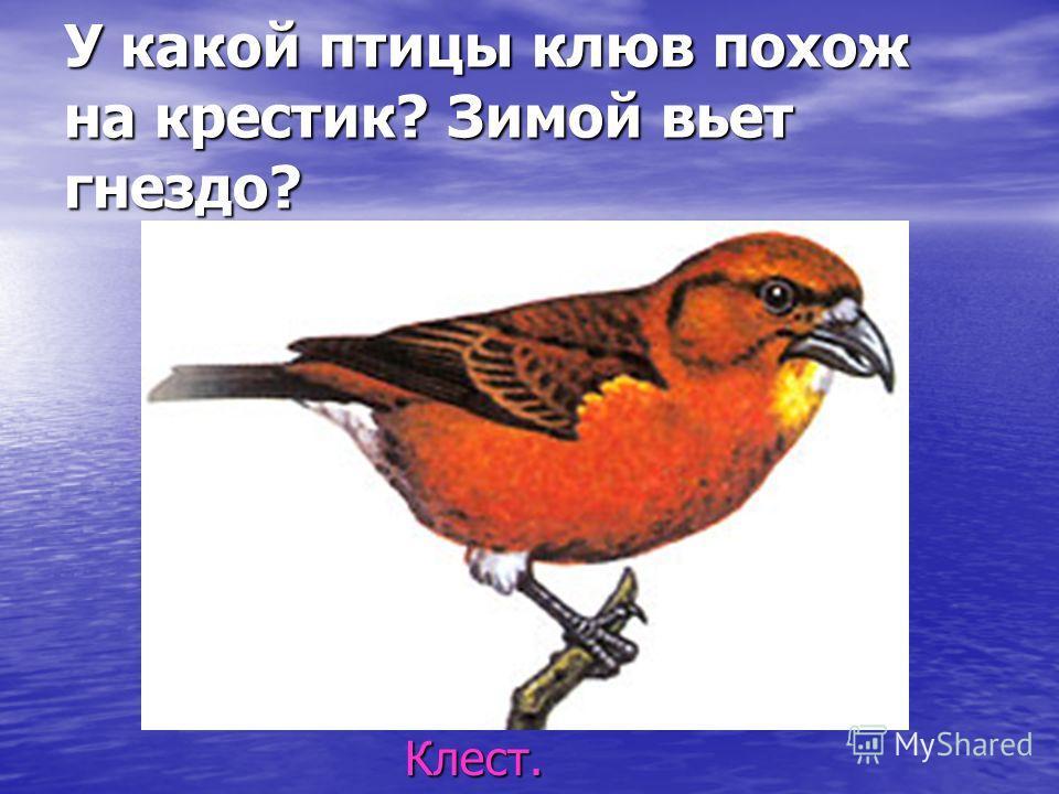 У какой птицы клюв похож на крестик? Зимой вьет гнездо? Клест. Клест.