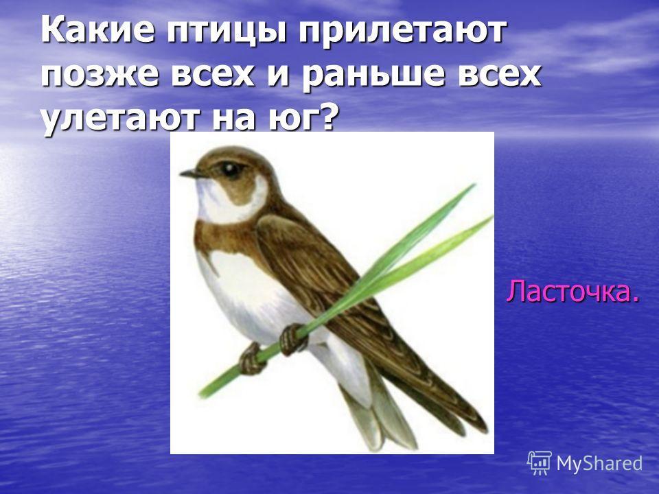 Какие птицы прилетают позже всех и раньше всех улетают на юг? Ласточка.