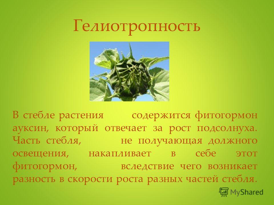 Гелиотропность В стебле растения содержится фитогормон ауксин, который отвечает за рост подсолнуха. Часть стебля, не получающая должного освещения, накапливает в себе этот фитогормон, вследствие чего возникает разность в скорости роста разных частей