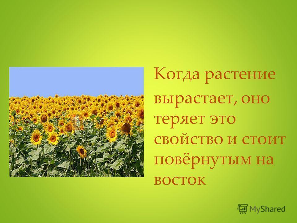 Когда растение вырастает, оно теряет это свойство и стоит повёрнутым на восток
