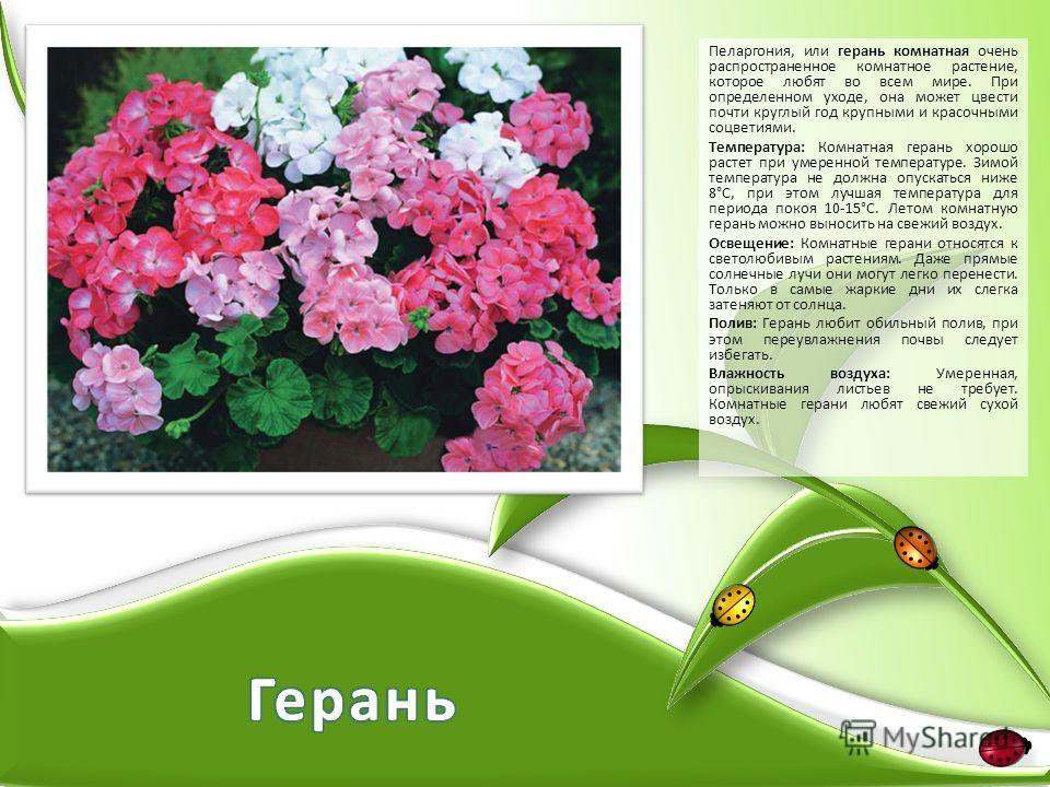 Пеларгония, или герань комнатная очень распространенное комнатное растение, которое любят во всем мире. При определенном уходе, она может цвести почти круглый год крупными и красочными соцветиями. Температура: Комнатная герань хорошо растет при умере