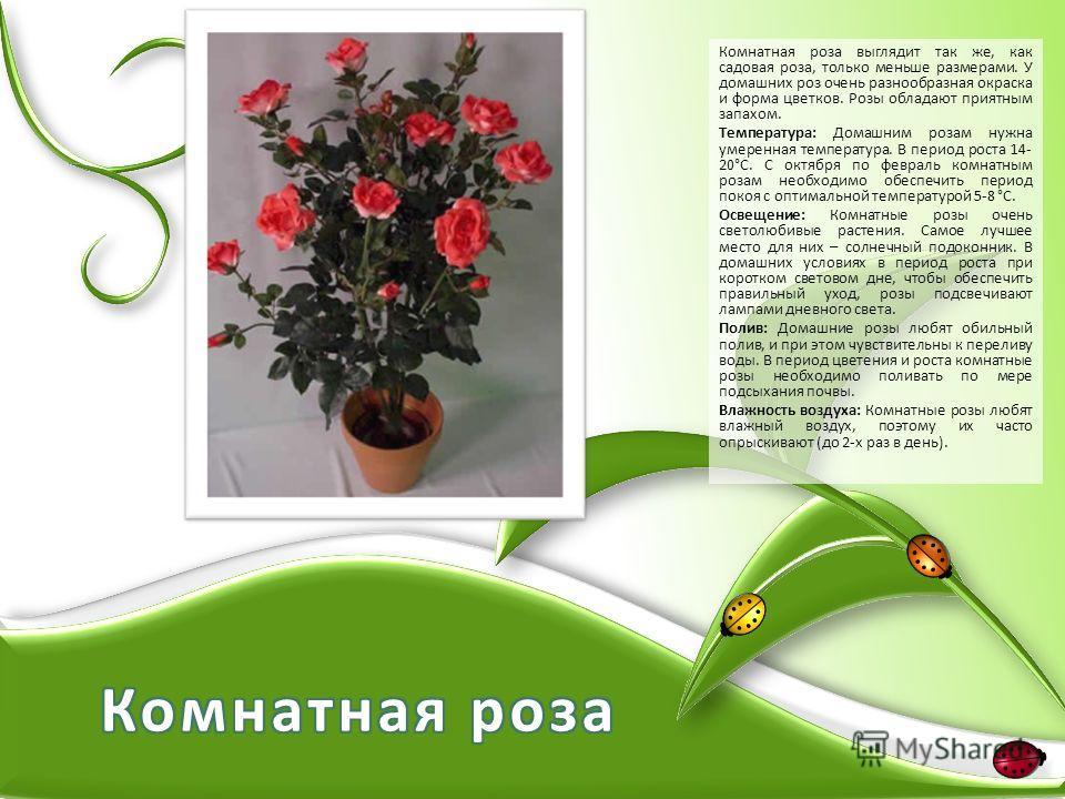 Комнатная роза выглядит так же, как садовая роза, только меньше размерами. У домашних роз очень разнообразная окраска и форма цветков. Розы обладают приятным запахом. Температура: Домашним розам нужна умеренная температура. В период роста 14- 20°С. С