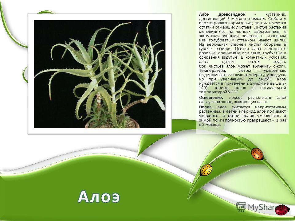 Алоэ древовидное - кустарник, достигающий 3 метров в высоту. Стебли у алоэ серовато-коричневые, на них имеются остатки отмерших листьев. Листья растения мечевидные, на концах заостренные, с загнутыми зубцами, зеленые с сизоватым или голубоватым оттен