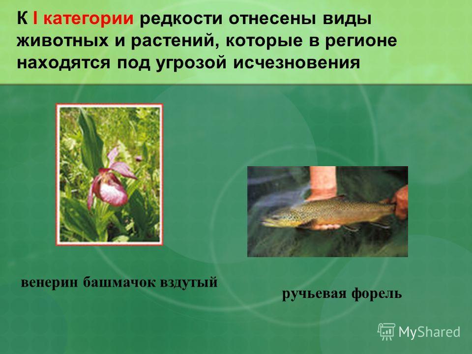 К I категории редкости отнесены виды животных и растений, которые в регионе находятся под угрозой исчезновения ручьевая форель венерин башмачок вздутый