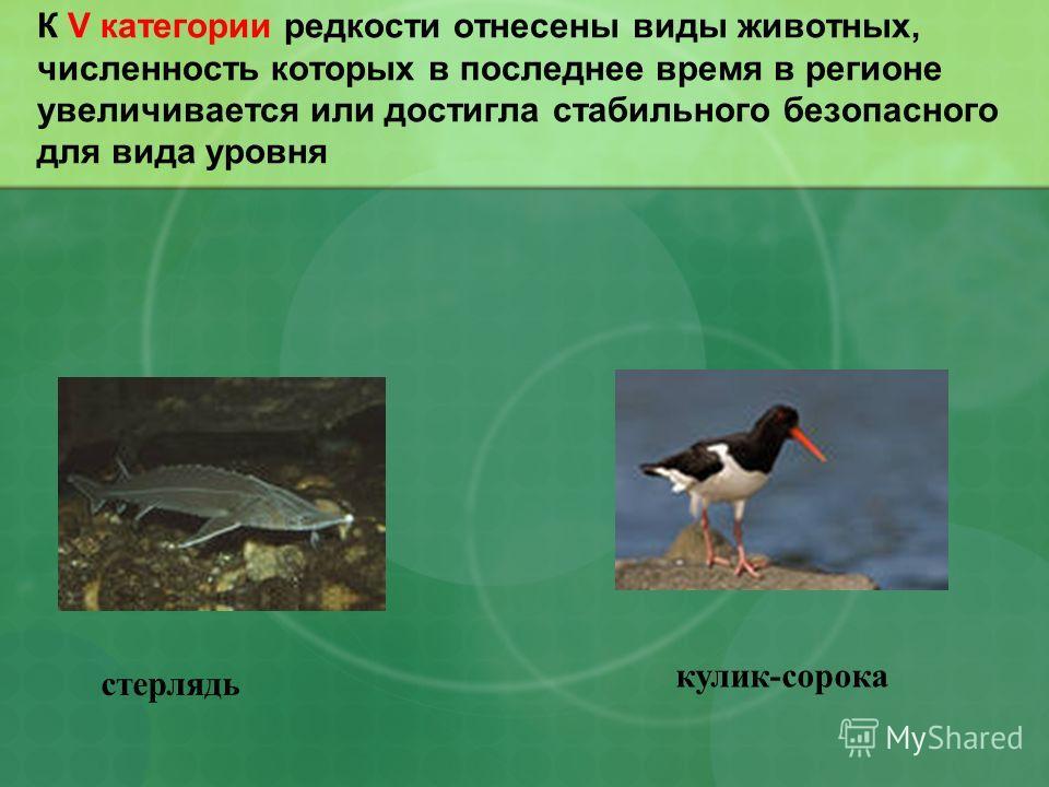 К V категории редкости отнесены виды животных, численность которых в последнее время в регионе увеличивается или достигла стабильного безопасного для вида уровня стерлядь кулик-сорока