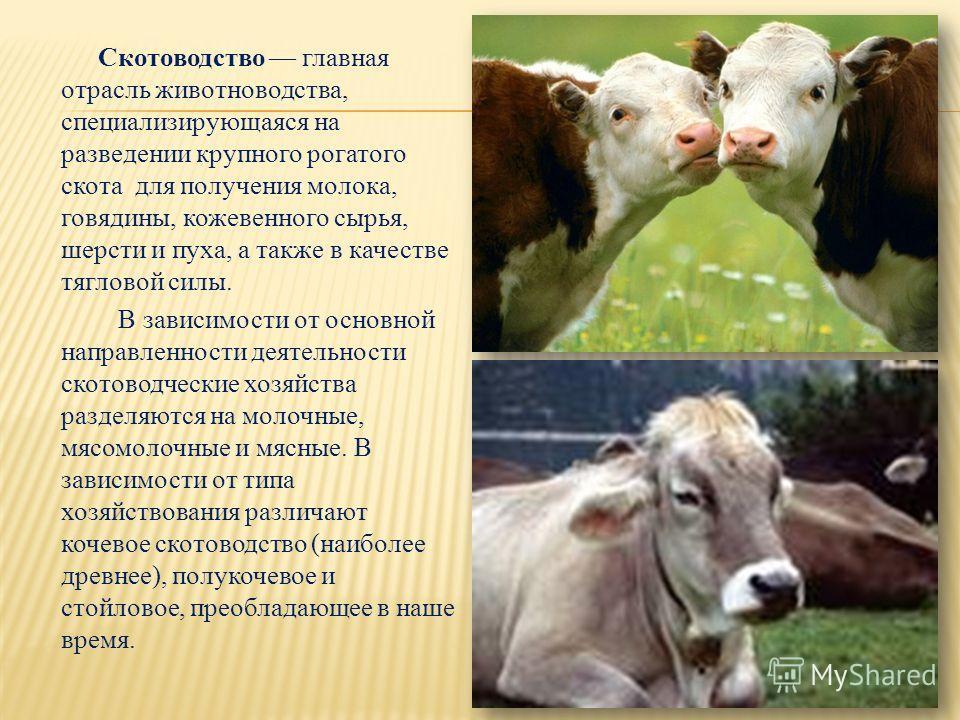 Скотоводство главная отрасль животноводства, специализирующаяся на разведении крупного рогатого скота для получения молока, говядины, кожевенного сырья, шерсти и пуха, а также в качестве тягловой силы. В зависимости от основной направленности деятель