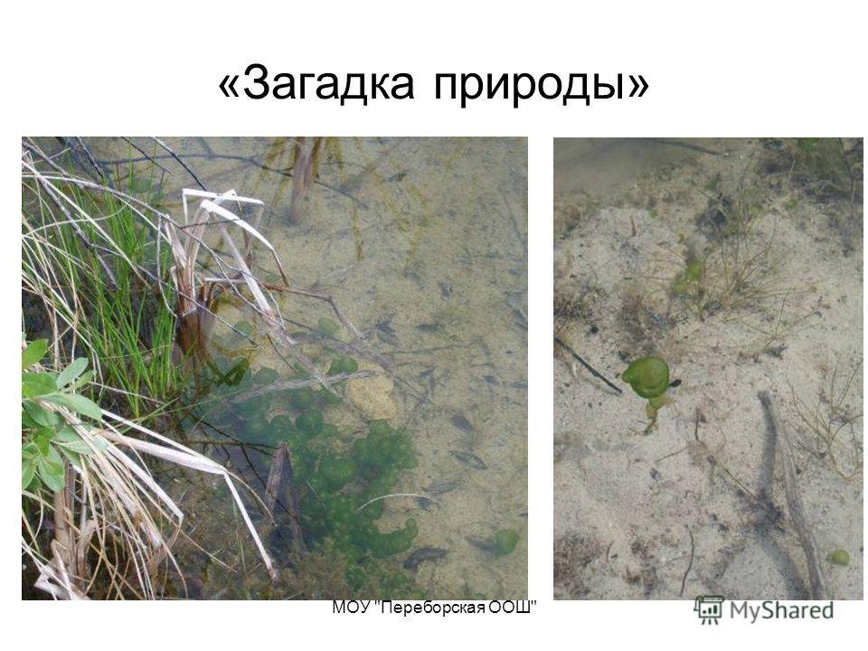 МОУ Переборская ООШ «Загадка природы»