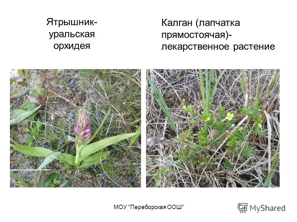 МОУ Переборская ООШ Ятрышник- уральская орхидея Калган (лапчатка прямостоячая)- лекарственное растение