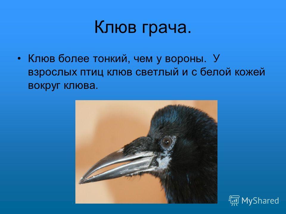 Клюв грача. Клюв более тонкий, чем у вороны. У взрослых птиц клюв светлый и с белой кожей вокруг клюва.