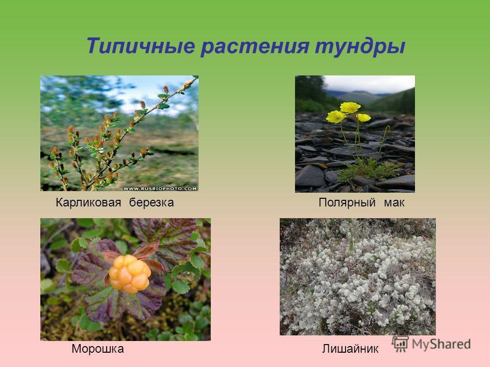 Типичные растения тундры Карликовая березка Морошка Полярный мак Лишайник