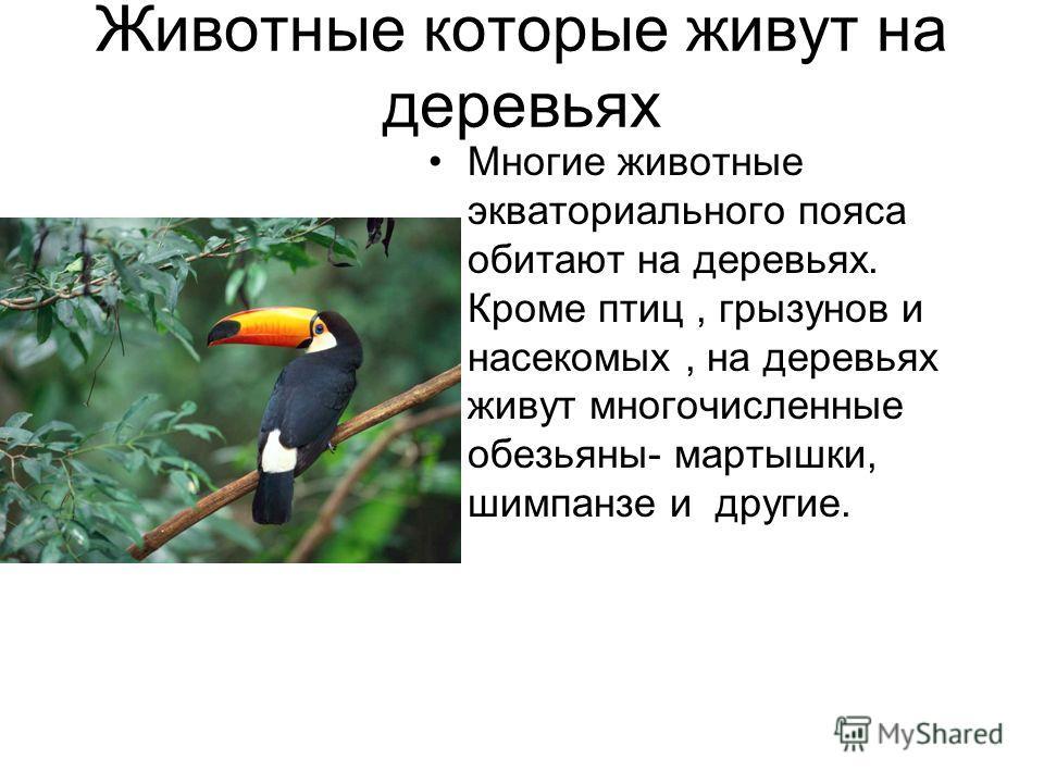 Животные которые живут на деревьях Многие животные экваториального пояса обитают на деревьях. Кроме птиц, грызунов и насекомых, на деревьях живут многочисленные обезьяны- мартышки, шимпанзе и другие.