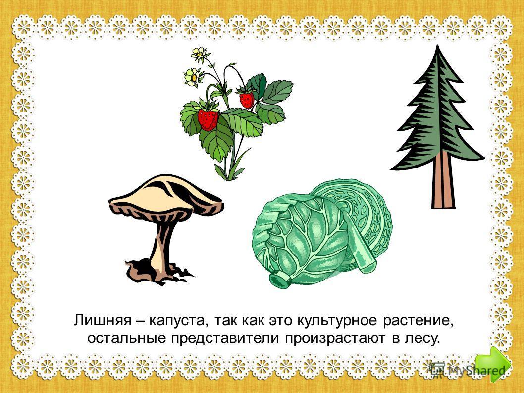 Лишняя – капуста, так как это культурное растение, остальные представители произрастают в лесу.