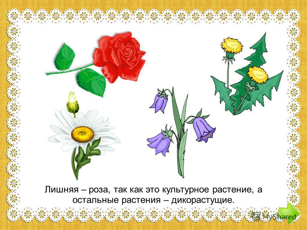 Лишняя – роза, так как это культурное растение, а остальные растения – дикорастущие.