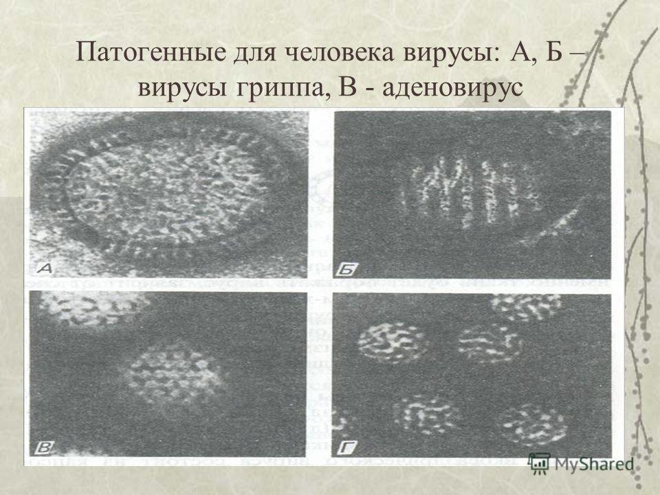 Патогенные для человека вирусы: А, Б – вирусы гриппа, В - аденовирус