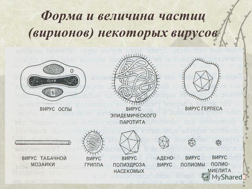 Форма и величина частиц (вирионов) некоторых вирусов