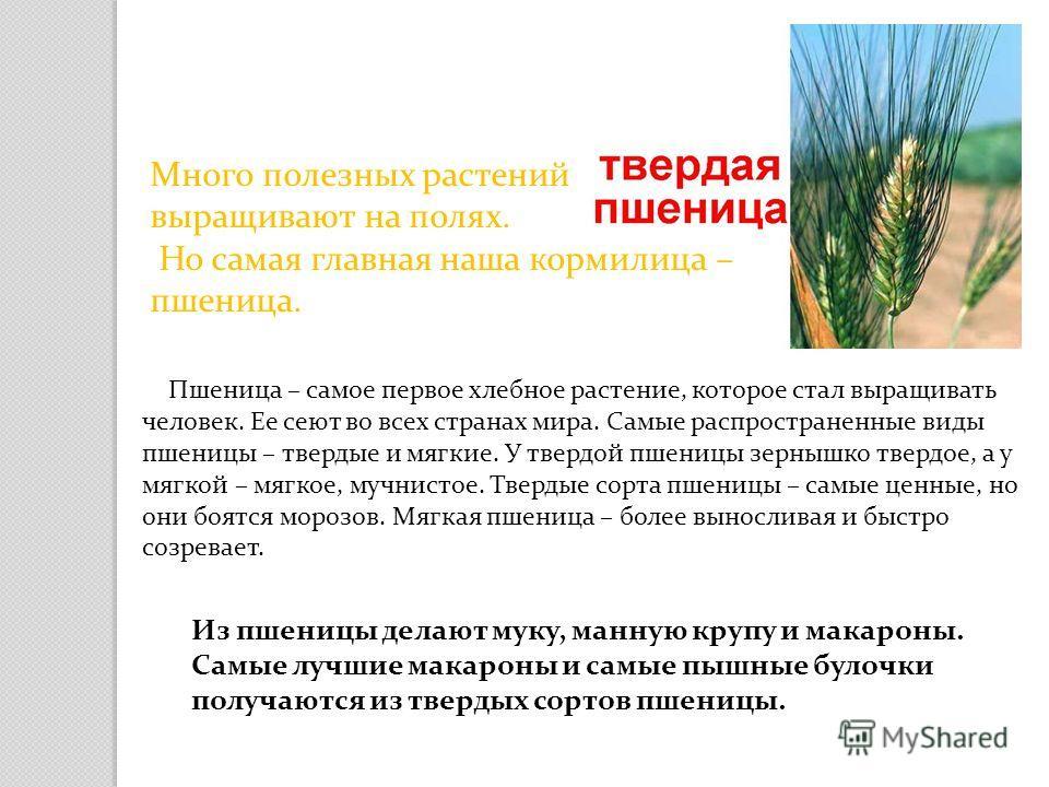 Много полезных растений выращивают на полях. Но самая главная наша кормилица – пшеница. Пшеница – самое первое хлебное растение, которое стал выращивать человек. Ее сеют во всех странах мира. Самые распространенные виды пшеницы – твердые и мягкие. У