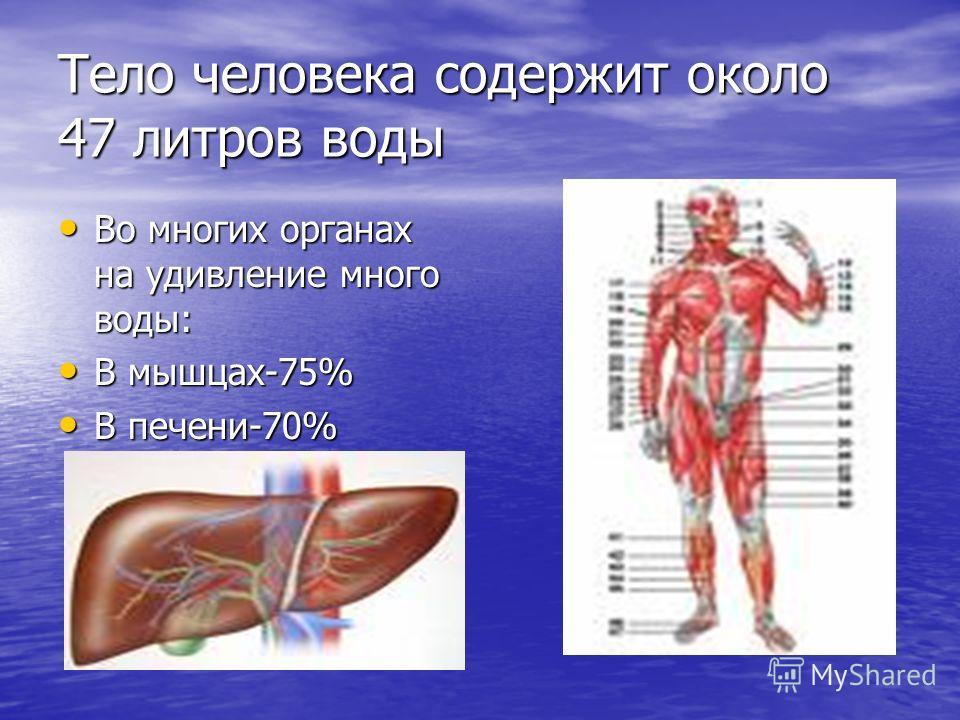 Тело человека содержит около 47 литров воды Во многих органах на удивление много воды: Во многих органах на удивление много воды: В мышцах-75% В мышцах-75% В печени-70% В печени-70%