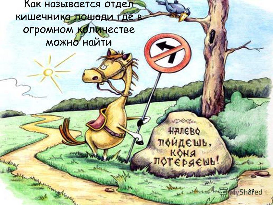 28 Как называется отдел кишечника лошади где в огромном количестве можно найти