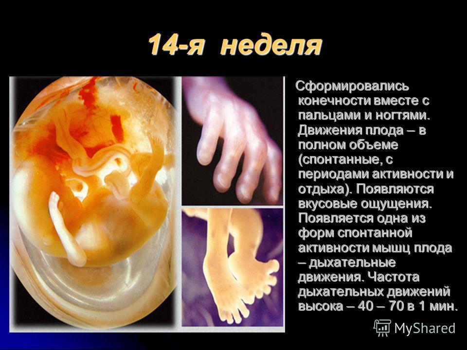 14-я неделя Сформировались конечности вместе с пальцами и ногтями. Движения плода – в полном объеме (спонтанные, с периодами активности и отдыха). Появляются вкусовые ощущения. Появляется одна из форм спонтанной активности мышц плода – дыхательные дв