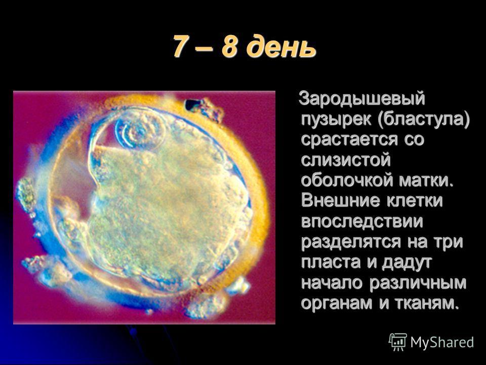 7 – 8 день Зародышевый пузырек (бластула) срастается со слизистой оболочкой матки. Внешние клетки впоследствии разделятся на три пласта и дадут начало различным органам и тканям. Зародышевый пузырек (бластула) срастается со слизистой оболочкой матки.