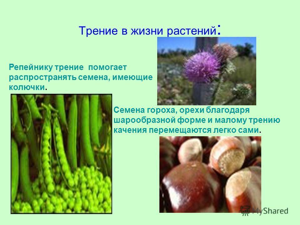 Трение в жизни растений : Репейнику трение помогает распространять семена, имеющие колючки. Семена гороха, орехи благодаря шарообразной форме и малому трению качения перемещаются легко сами.