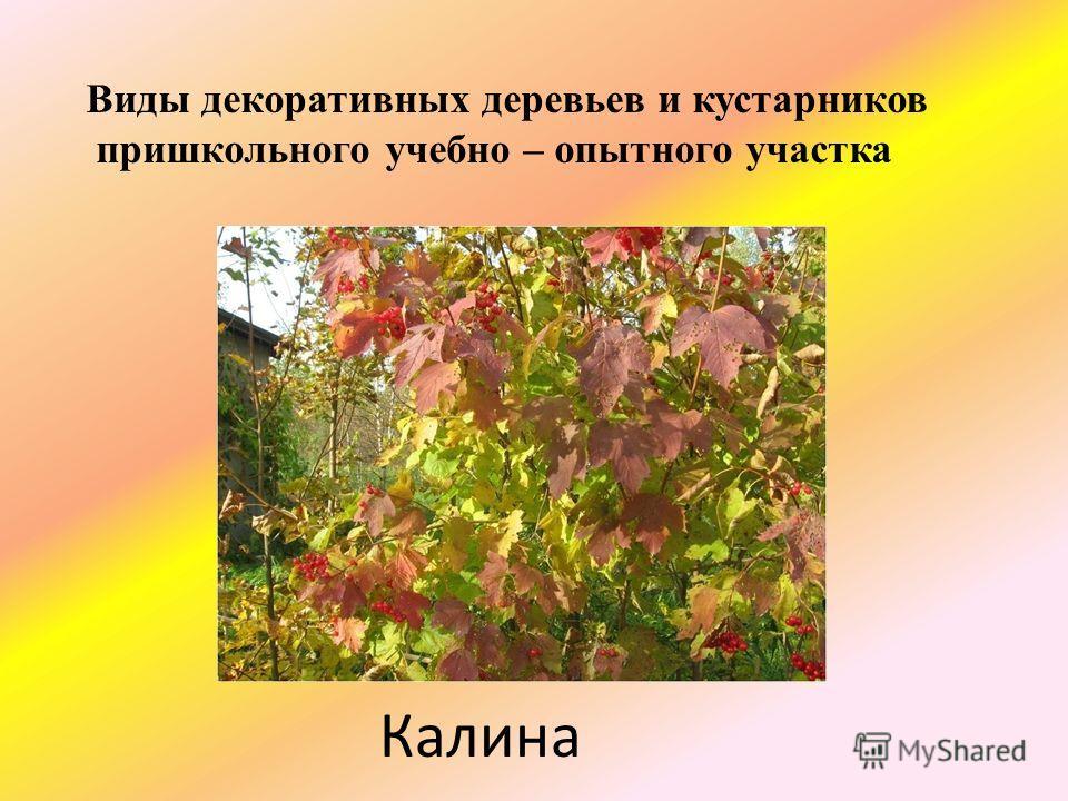 Калина Виды декоративных деревьев и кустарников пришкольного учебно – опытного участка