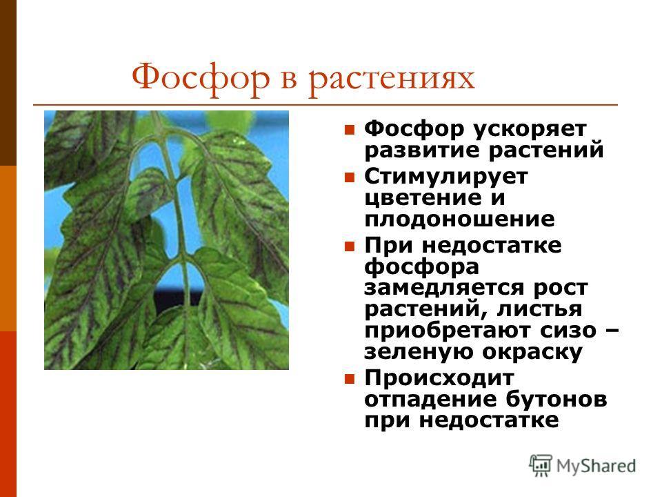 Фосфор в растениях Фосфор ускоряет развитие растений Стимулирует цветение и плодоношение При недостатке фосфора замедляется рост растений, листья приобретают сизо – зеленую окраску Происходит отпадение бутонов при недостатке