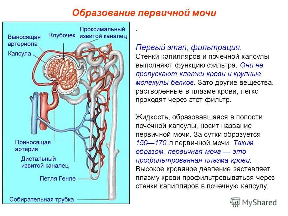 Образование первичной мочи. Первый этап, фильтрация. Стенки капилляров и почечной капсулы выполняют функцию фильтра. Они не пропускают клетки крови и крупные молекулы белков. Зато другие вещества, растворенные в плазме крови, легко проходят через это