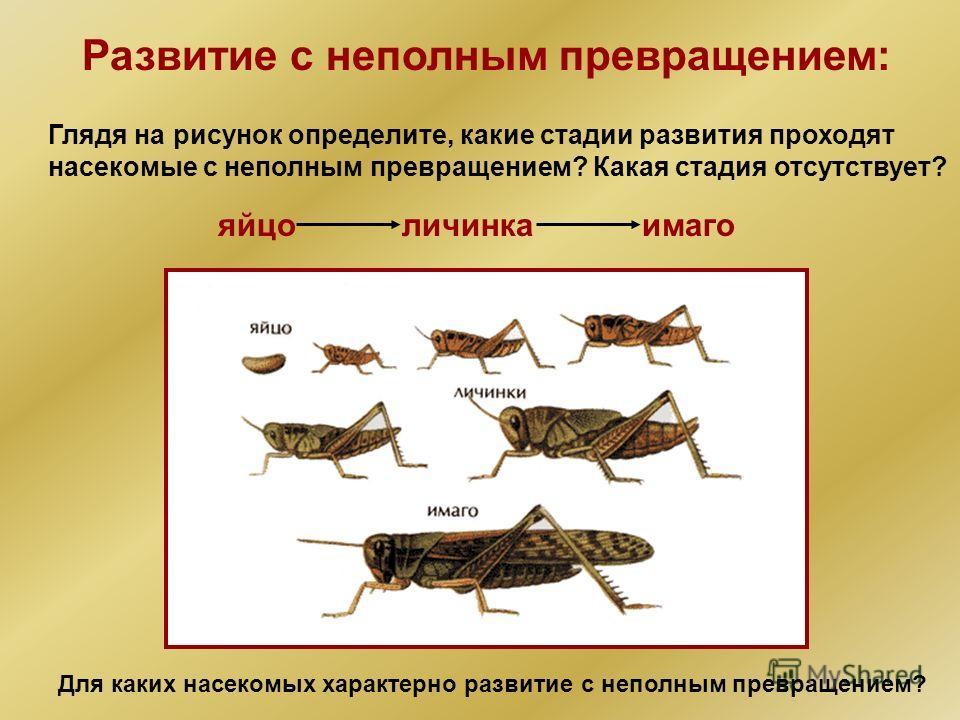 Развитие с неполным превращением: Глядя на рисунок определите, какие стадии развития проходят насекомые с неполным превращением? Какая стадия отсутствует? яйцоличинкаимаго Для каких насекомых характерно развитие с неполным превращением?