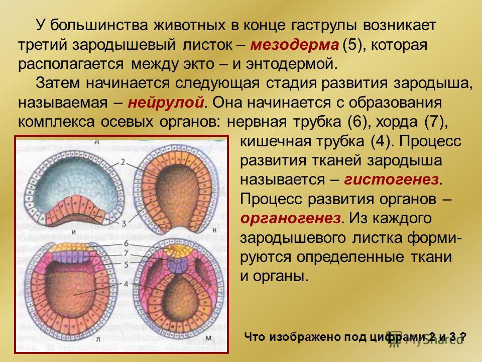 У большинства животных в конце гаструлы возникает третий зародышевый листок – мезодерма (5), которая располагается между экто – и энтодермой. Затем начинается следующая стадия развития зародыша, называемая – нейрулой. Она начинается с образования ком