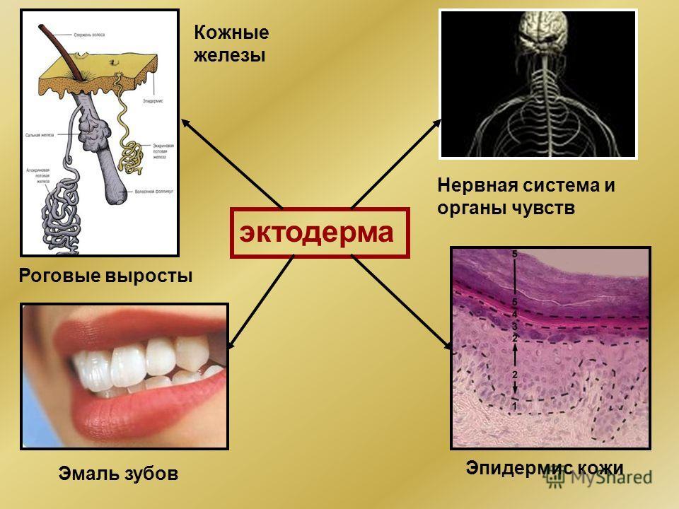 эктодерма Нервная система и органы чувств Эмаль зубов Эпидермис кожи Кожные железы Роговые выросты