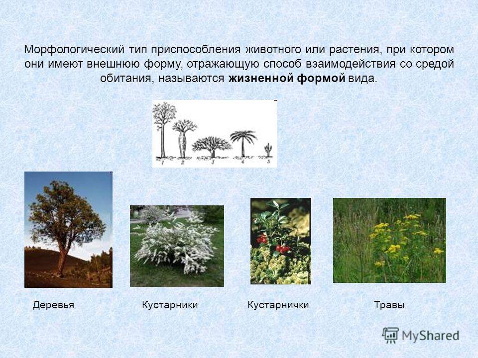 Морфологический тип приспособления животного или растения, при котором они имеют внешнюю форму, отражающую способ взаимодействия со средой обитания, называются жизненной формой вида. ДеревьяКустарникиКустарничкиТравы