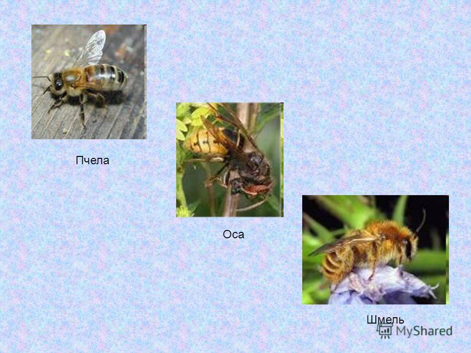Пчела Оса Шмель
