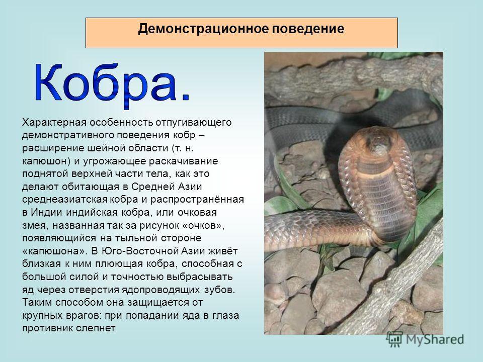 Характерная особенность отпугивающего демонстративного поведения кобр – расширение шейной области (т. н. капюшон) и угрожающее раскачивание поднятой верхней части тела, как это делают обитающая в Средней Азии среднеазиатская кобра и распространённая