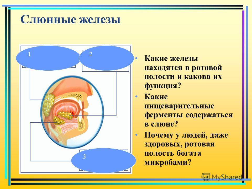 Слюнные железы Какие железы находятся в ротовой полости и какова их функция? Какие пищеварительные ферменты содержаться в слюне? Почему у людей, даже здоровых, ротовая полость богата микробами? 12 3