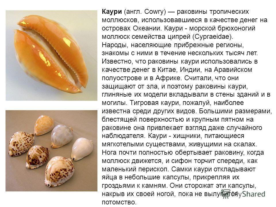 Каури (англ. Cowry) раковины тропических моллюсков, использовавшиеся в качестве денег на островах Океании. Каури - морской брюхоногий моллюск семейства ципрей (Cypraeidae). Народы, населяющие прибрежные регионы, знакомы с ними в течение нескольких ты