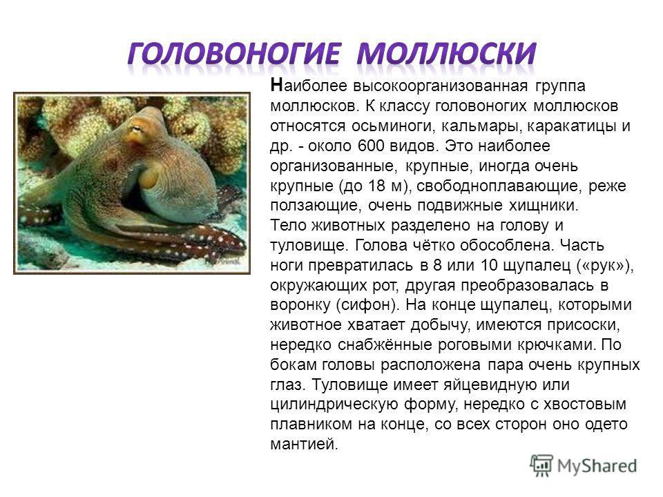 Н аиболее высокоорганизованная группа моллюсков. К классу головоногих моллюсков относятся осьминоги, кальмары, каракатицы и др. - около 600 видов. Это наиболее организованные, крупные, иногда очень крупные (до 18 м), свободноплавающие, реже ползающие