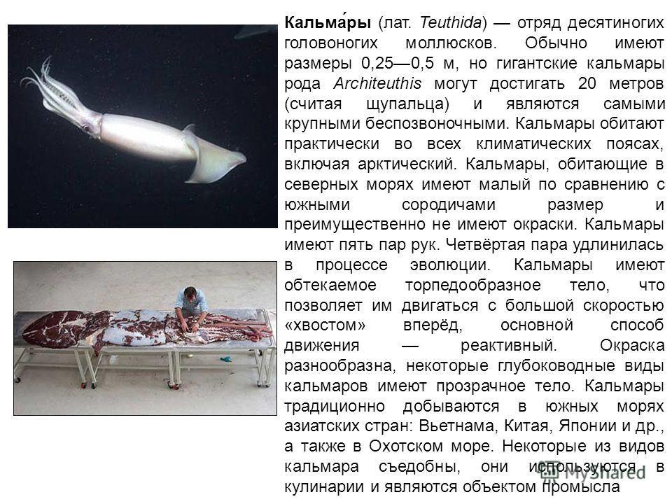 Кальма́ры (лат. Teuthida) отряд десятиногих головоногих моллюсков. Обычно имеют размеры 0,250,5 м, но гигантские кальмары рода Architeuthis могут достигать 20 метров (считая щупальца) и являются самыми крупными беспозвоночными. Кальмары обитают практ