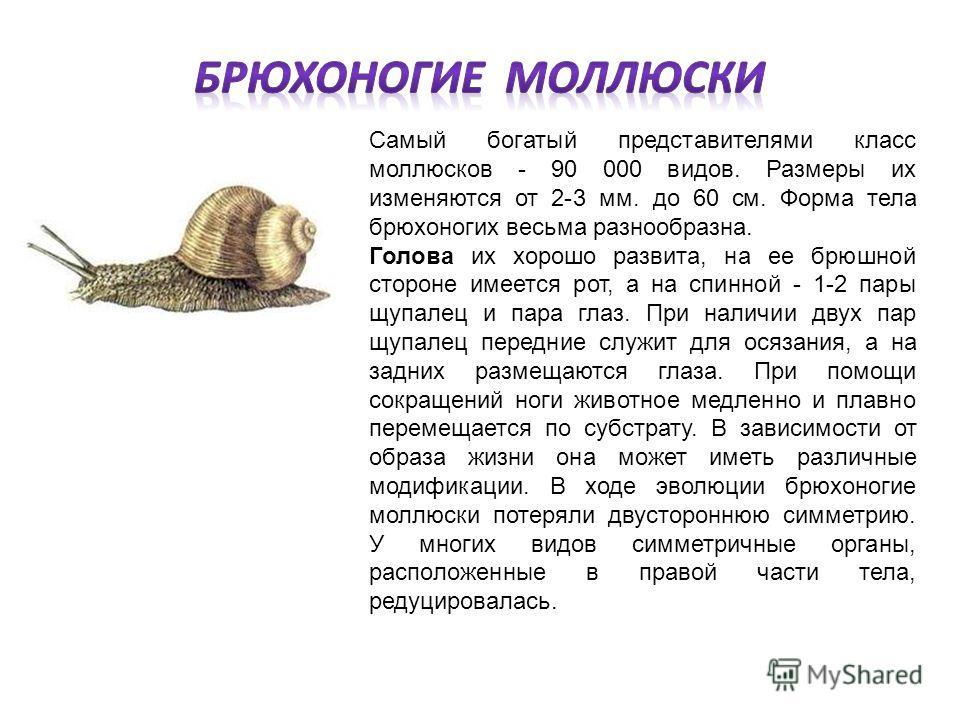 Самый богатый представителями класс моллюсков - 90 000 видов. Размеры их изменяются от 2-3 мм. до 60 см. Форма тела брюхоногих весьма разнообразна. Голова их хорошо развита, на ее брюшной стороне имеется рот, а на спинной - 1-2 пары щупалец и пара гл
