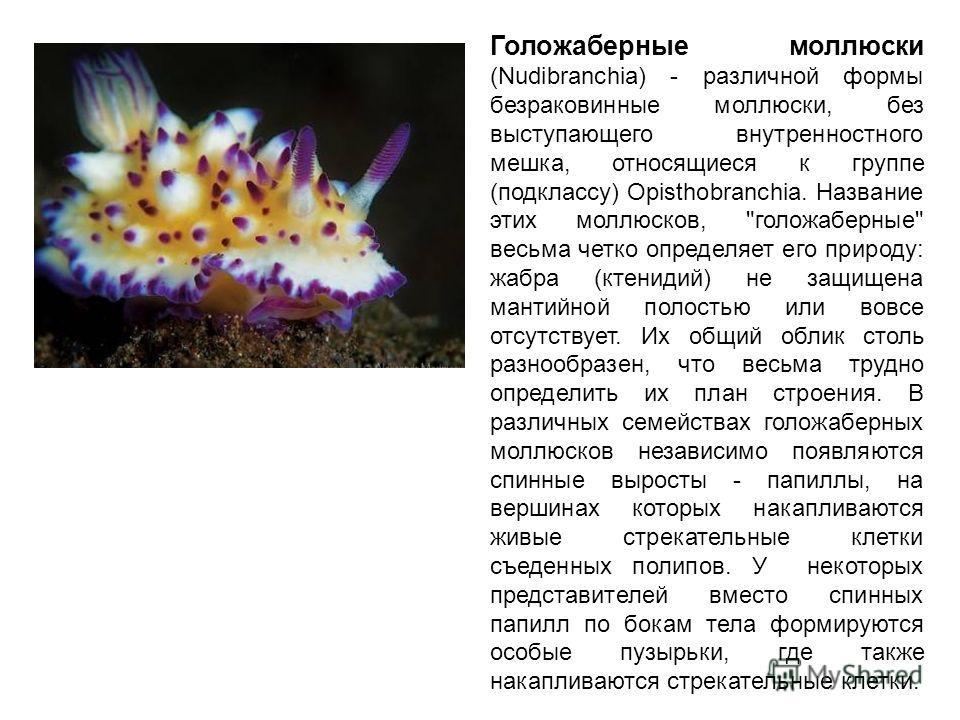 Голожаберные моллюски (Nudibranchia) - различной формы безраковинные моллюски, без выступающего внутренностного мешка, относящиеся к группе (подклассу) Opisthobranchia. Название этих моллюсков,